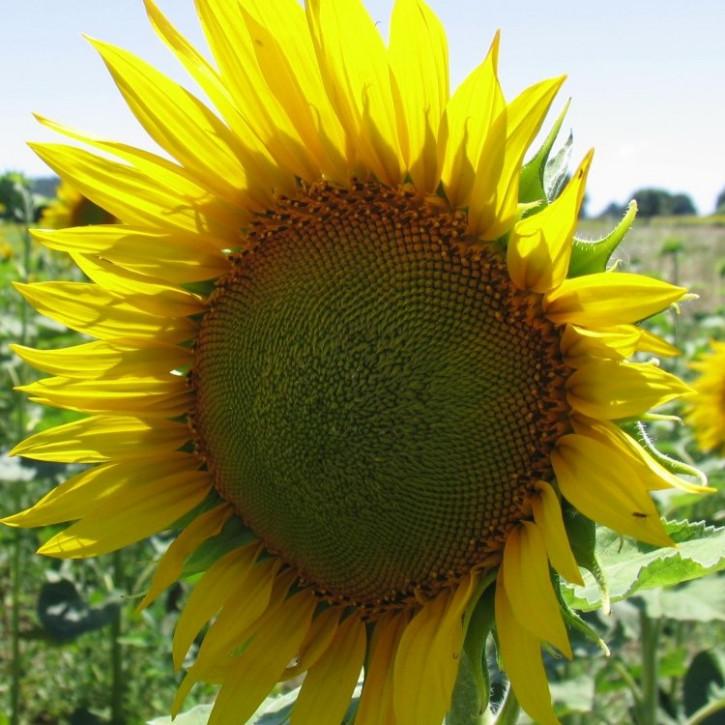 Sonnenblumenöl Oleic, raffiniert   1Liter