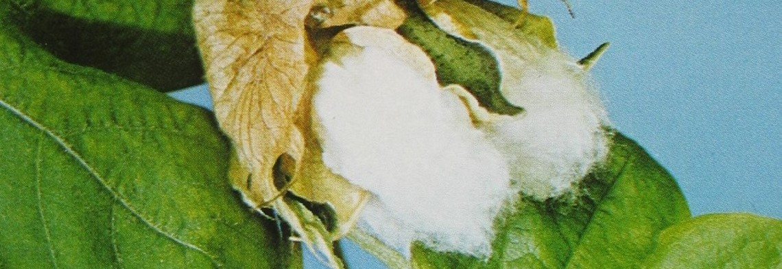 Baumwollsaatöl raffiniert (Cottonöl)