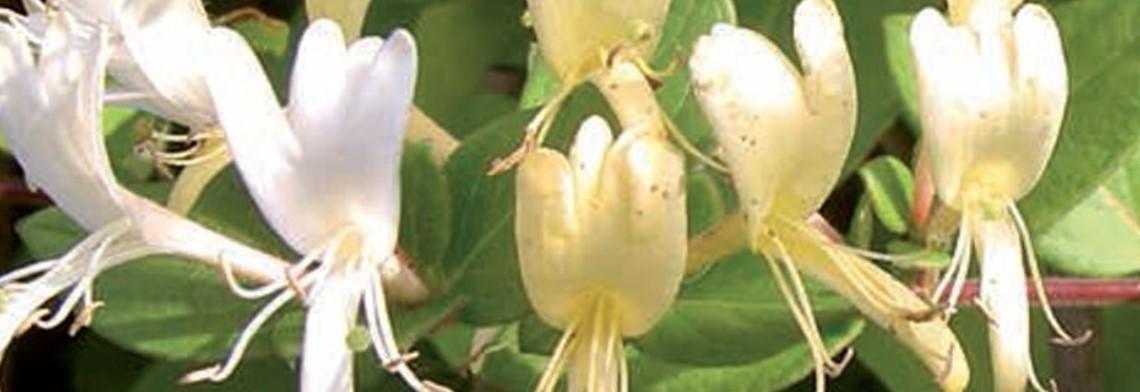 Parfümöl Honeysuckle