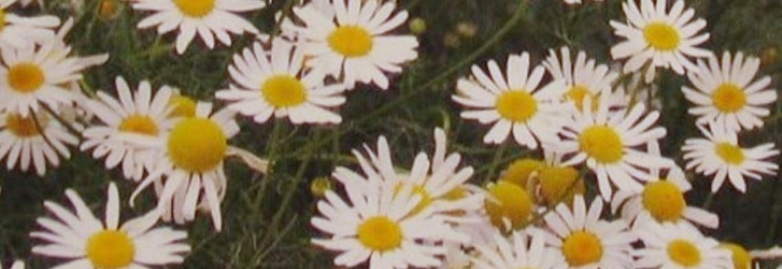 Parfumöl Kamille