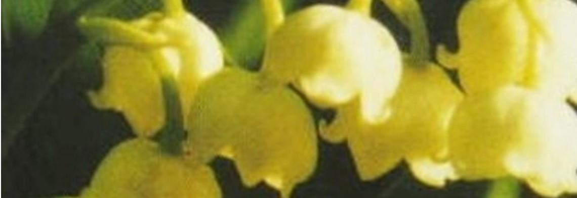 Parfümöl Muguet (Maiglöckchen)