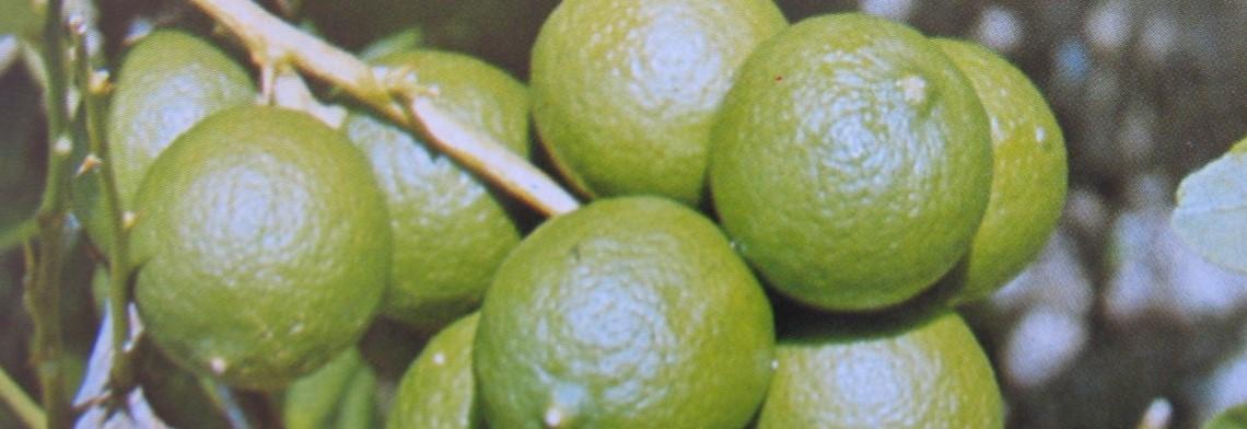 Pomeranzenöl (Bitterorangenöl) naturrein