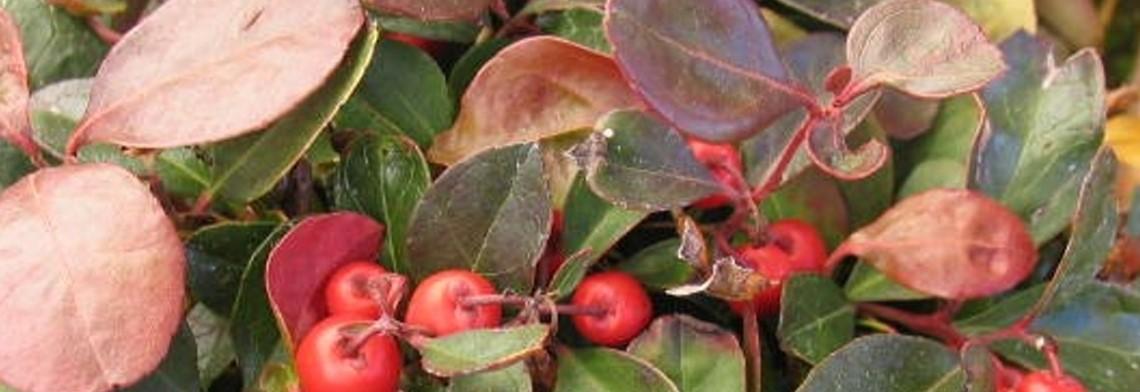 Wintergrünöl naturrein