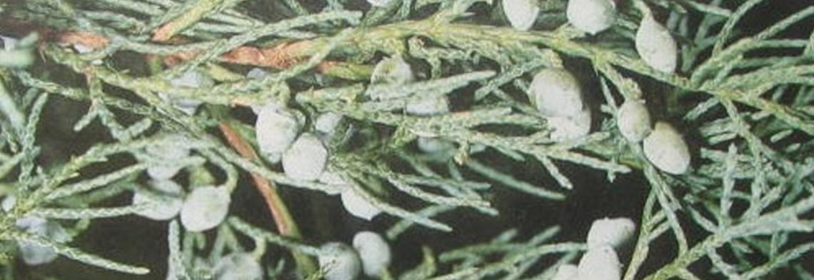 Zedernholzöl Texas naturrein